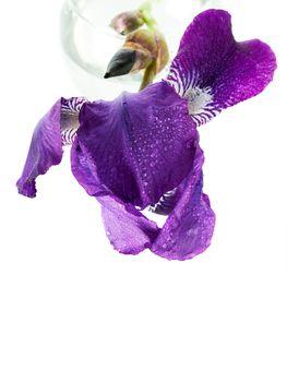 Iris in a glass.
