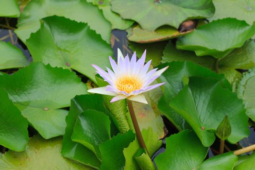 White water lilly in a lake