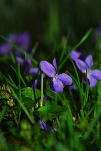 fresh purple violet in grass and flowers portrait