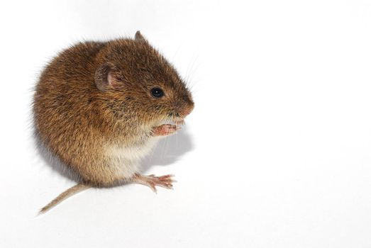 young little brown mouse on white background left