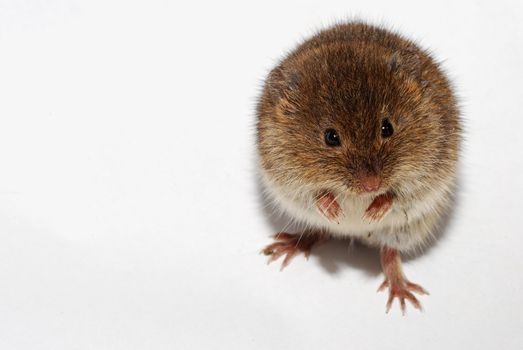young little brown mouse on white background standing on hind legs
