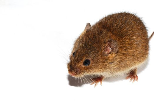 great view small young brown mouse on white background