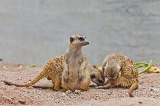 A group of meerkat