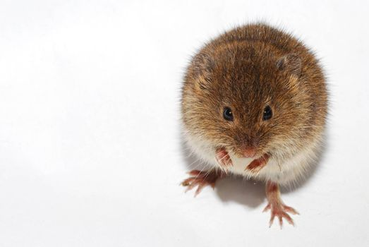 young little brown mouse on white background right