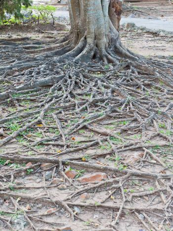 Tropical tree root
