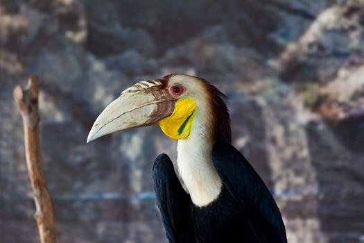 Wreathed hornbill, bird