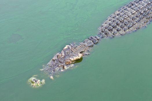 crocodile in green pond