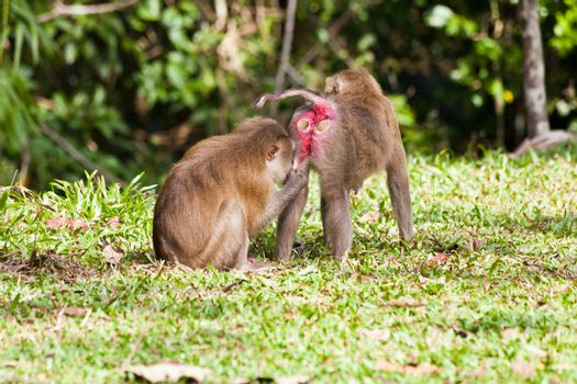 Monkey search for louse on another monkey