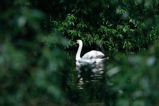 Romance symbol. Beautiful swan on water among green leaves