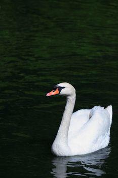 Romance symbol. Beautiful white swan on dark water surface