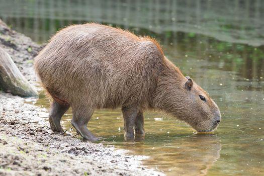 Capybara drinking at a pond