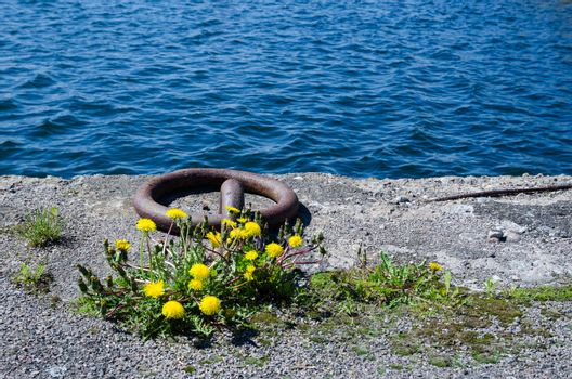 Old rusty mooring loop and dandelions at a concrete pier