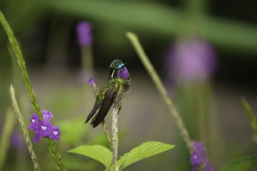 Hummingbird-Purple-throated Mountain Gem