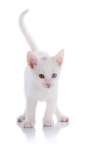 The white kitten with multi-colored eyes costs on a white background.