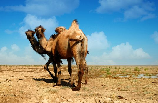 Two heads camel