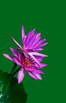Purple  water lily flower closeup