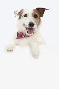 jack russel terrier dog with blank billboard
