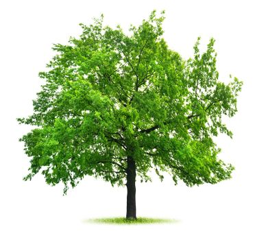 Big green oak