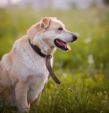 Portrait of a beige not purebred dog in an old collar.