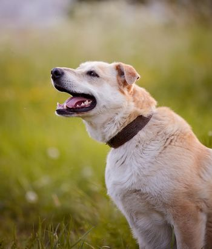 Portrait of a beige not purebred dog.