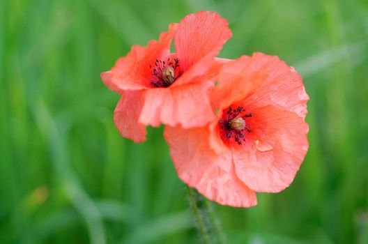 two poppies  on green background