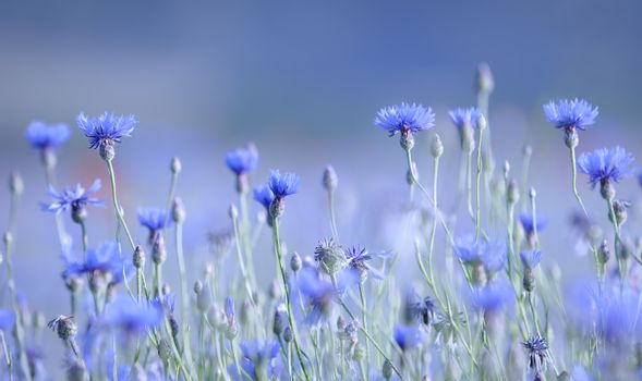 blue color and cornflowers