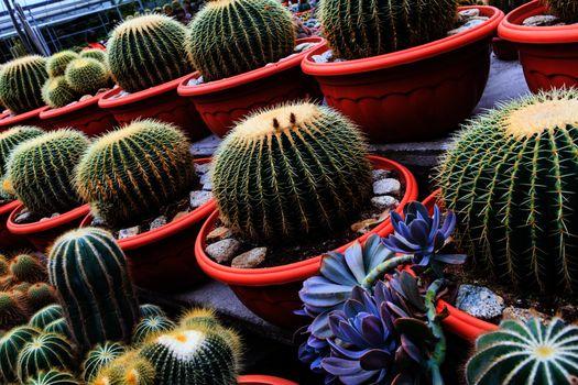 Cactus, extreme closeup at Cameron highlands, Malaysia