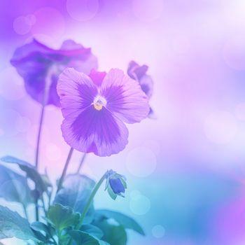 Purple pansies flowers