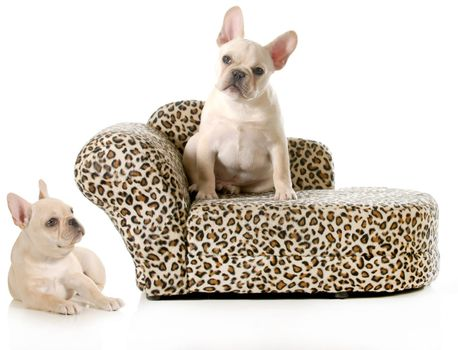 french bulldogs isolated on white background - male and female