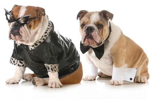 dog couple - english bulldog dressed up like man and woman isolated on white background