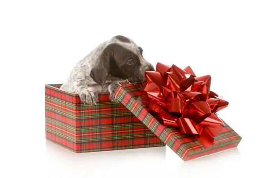 puppy present - german shorthair pointer inside tartan gift box isolated on white background