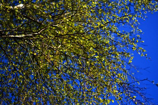 The branches of a birch tree with blossoming leaves against the blue sky