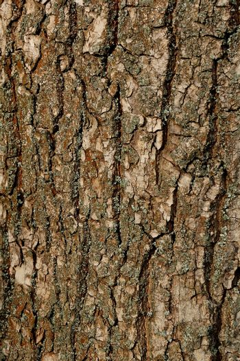 Texture of a Bark of an Old Oak Tree. Background Pattern