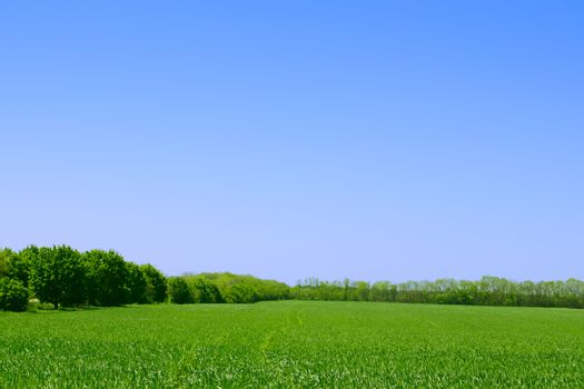 Green Wheat Field, Forest and Blue Sky. Beautiful Summer Landscape Background