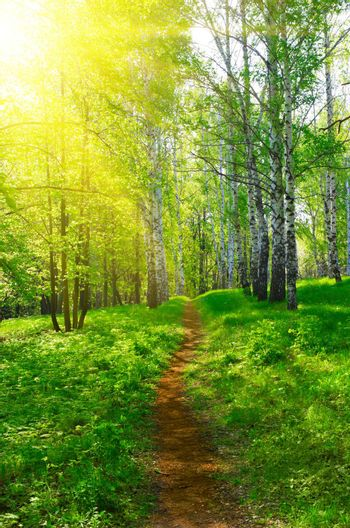 Pathway at sunny birch forest