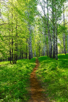 Footpath in birch grove