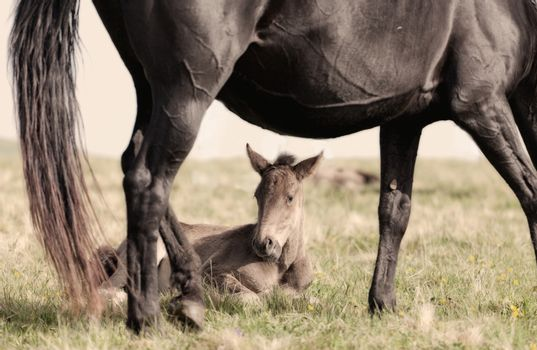 foal lies on a grass under a stomach of a mare