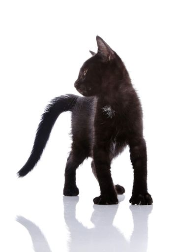 The black kitten costs on a white background.