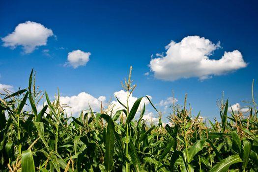 corn and heaven