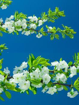flowers of pear tree