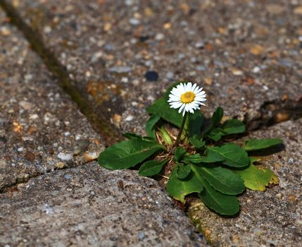 one daisy on pavement