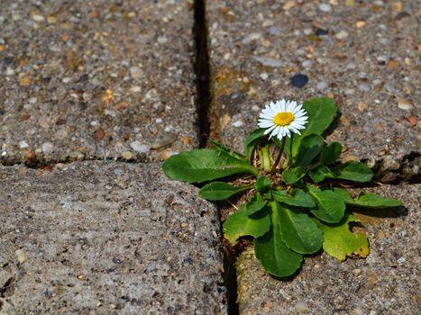 one daisy on the sidewalk