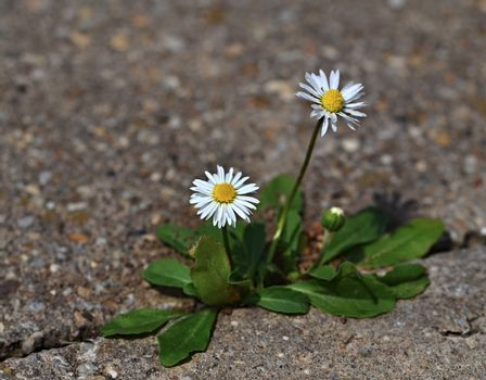 Two daisies on the pavement