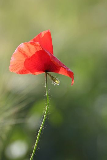 closeup of single red poppy blown by the wind