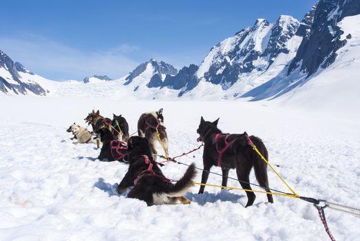 Husky Dogs - Mendenhall Glacier Juneau Ice Field Alaska - Travel Destination