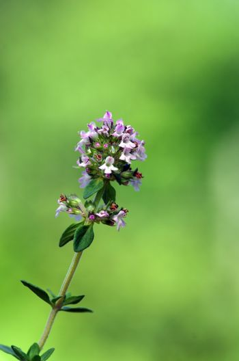 Thymus - healing herb and condiment growing in nature