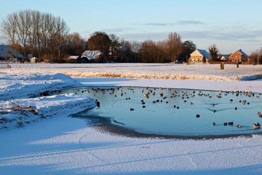 wild waterfowl on frozen lake in winter