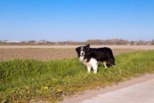 Border Collie dog in Dutch farmland