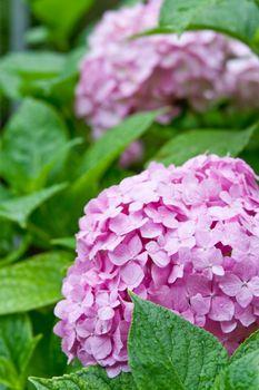 pink hortensia