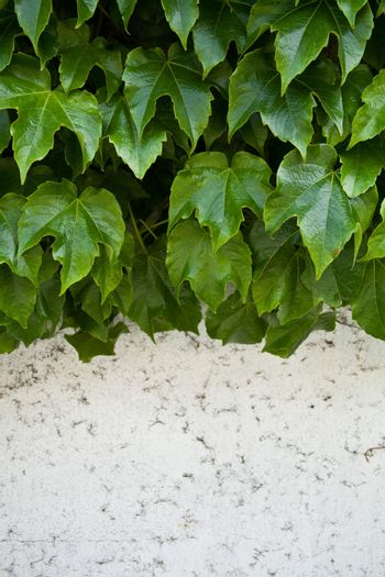 ivy growing on old wall